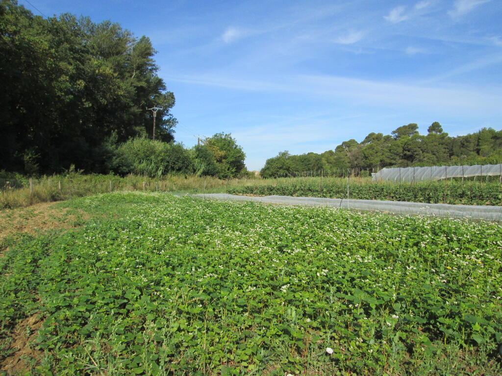 Couvert végétal de sarrasin